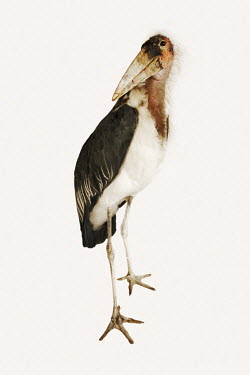 Marabou stork - Africa feathers,Feather,White background,nothing,plain background,nothing in background,Plain,blank background,blank,Facial portrait,face,Portrait,face picture,face shot,Bill,bills,Plumage,plumes,plume,Mouth