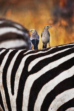 Wattled starling - Africa Wattled starling,Animalia,Chordata,Aves,Passeriformes,Sturnidae,Creatophora cinerea,starling,bird,birds