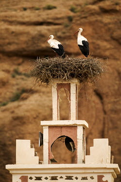 White stork nesting on top of a house of worship - Morocco stork,birds,bird,White stork,Ciconia ciconia,Chordates,Chordata,Storks,Ciconiidae,Ciconiiformes,Herons Ibises Storks and Vultures,Aves,Birds,Cigogne blanche,Asia,Africa,Temperate,Flying,Animalia,Cicon
