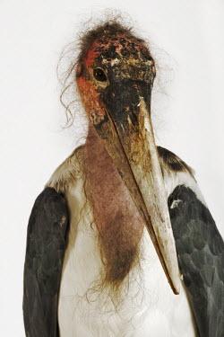 Marabou stork - Africa stork,birds,bird,Marabou stork,Leptoptilos crumeniferus,Aves,Birds,Ciconiiformes,Herons Ibises Storks and Vultures,Chordates,Chordata,Storks,Ciconiidae,Marabou,Marabout d'Afrique,Least Concern,Flying,