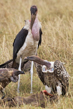 Marabou stork - Africa face,feathers,Feather,Plumage,plumes,plume,Mouth,mouthpart,mouths,mouthparts,Bill,bills,stork,birds,bird,Marabou stork,Leptoptilos crumeniferus,Aves,Birds,Ciconiiformes,Herons Ibises Storks and Vultur