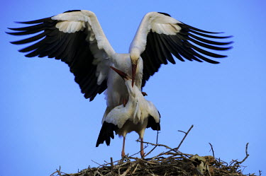 White storks mating - Morocco stork,birds,bird,White stork,Ciconia ciconia,Chordates,Chordata,Storks,Ciconiidae,Ciconiiformes,Herons Ibises Storks and Vultures,Aves,Birds,Cigogne blanche,Asia,Africa,Temperate,Flying,Animalia,Cicon