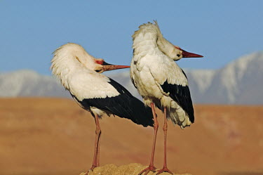 White stork - Morocco stork,birds,bird,White stork,Ciconia ciconia,Chordates,Chordata,Storks,Ciconiidae,Ciconiiformes,Herons Ibises Storks and Vultures,Aves,Birds,Cigogne blanche,Asia,Africa,Temperate,Flying,Animalia,Cicon