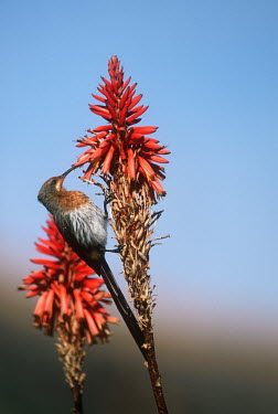 Gurney's sugarbird - South Africa Gurney's sugarbird,sugarbird,bird,birds,Animalia,Chordata,Aves,Passeriformes,Promeropidae,Promerops gurneyi