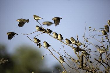 Red-billed quelea flock in their thousands - Africa Red-billed quelea,bird,birds,Animalia,Chordata,Aves,Passeriformes,Ploceidae,Quelea quelea,red-billed weaver,red-billed dioch,flock