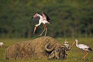 Yellow-billed stork - Kenya stork,birds,bird,Yellow-billed stork,Mycteria ibis,Aves,Birds,Chordates,Chordata,Ciconiiformes,Herons Ibises Storks and Vultures,Storks,Ciconiidae,African wood stork,Tantale africain,Aquatic,Animalia,