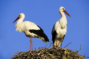 White storks nesting - Morocco stork,birds,bird,White stork,Ciconia ciconia,Chordates,Chordata,Storks,Ciconiidae,Ciconiiformes,Herons Ibises Storks and Vultures,Aves,Birds,Cigogne blanche,Asia,Africa,Temperate,Flying,Animalia,Cicon