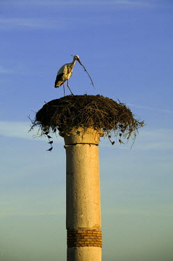 White stork nesting on top of ruins - Morocco stork,birds,bird,White stork,Ciconia ciconia,Chordates,Chordata,Storks,Ciconiidae,Ciconiiformes,Herons Ibises Storks and Vultures,Aves,Birds,Cigogne blanche,Asia,Africa,Temperate,Flying,Animalia,Cicon