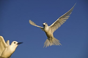 Common white tern - Seychelles summery,Summer,tropics,Tropical,in-air,in flight,flight,in-flight,flap,Flying,fly,in air,flapping,Dry season,sky,Sky background,Blue background,action,movement,move,Moving,in action,in motion,motion,S