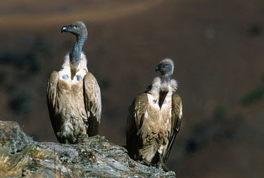 Cape vulture - Drakensberg Mountains, South Africa Terrestrial,ground,Altitude,high altitude,environment,ecosystem,Habitat,Montane,Mountain,vulture bird,birds,Cape vulture,Gyps coprptheres,Aves,Birds,Accipitridae,Hawks, Eagles, Kites, Harriers,Falconi