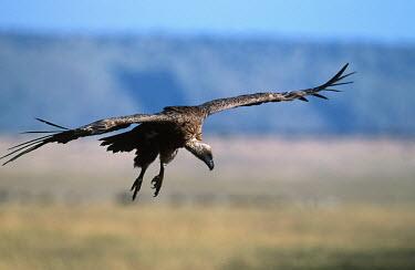 Rueppell�s griffon - Kenya vulture bird,birds,Rueppell�s griffon,Gyps rueppellii,Chordates,Chordata,Ciconiiformes,Herons Ibises Storks and Vultures,Aves,Birds,Falconiformes,Hawks Eagles Falcons Kestrel,Accipitridae,Hawks, Eagle
