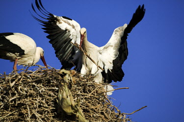 White storks nest building - Morocco stork,birds,bird,White stork,Ciconia ciconia,Chordates,Chordata,Storks,Ciconiidae,Ciconiiformes,Herons Ibises Storks and Vultures,Aves,Birds,Cigogne blanche,Asia,Africa,Temperate,Flying,Animalia,Cicon