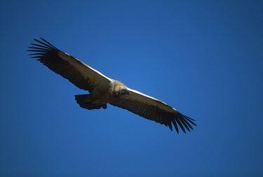Cape vulture - Drakensberg Mountains, South Africa sky,Sky background,Blue background,in-air,in flight,flight,in-flight,flap,Flying,fly,in air,flapping,action,movement,move,Moving,in action,in motion,motion,vulture bird,birds,Cape vulture,Gyps coprpth