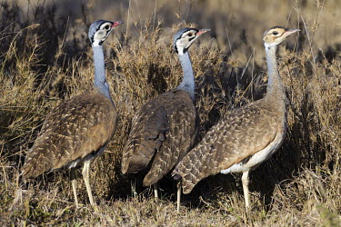 White-bellied bustard - Africa Grassland,Plains,plain,European grassland,Steppe,environment,ecosystem,Habitat,savannahs,savana,savannas,shrubland,savannah,Savanna,Terrestrial,ground,White-bellied bustard,White-bellied korhaan,Anima