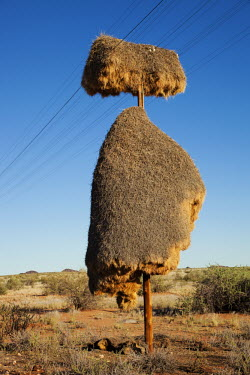 Huge nests created on an telephone by sociable weaver birds - Namibia Sociable weaver,weaver,bird,birds,Animalia,Chordata,Aves,Passeriformes,Ploceidae,Philetairus socius