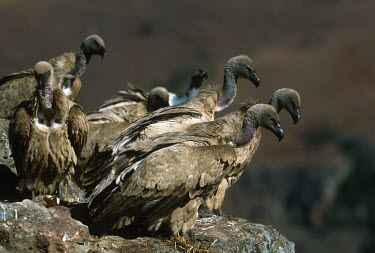 Cape vulture - Drakensberg Mountains, South Africa vulture bird,birds,Cape vulture,Gyps coprptheres,Aves,Birds,Accipitridae,Hawks, Eagles, Kites, Harriers,Falconiformes,Hawks Eagles Falcons Kestrel,Chordates,Chordata,Cape griffon,Gyps fulvus coprother