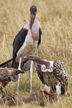 Rueppells griffons and a marabou stork - Kenya Grassland,environment,ecosystem,Habitat,leg,savannahs,savana,savannas,shrubland,savannah,Savanna,Terrestrial,ground,vulture bird,birds,Rueppells griffon,Gyps rueppellii,Chordates,Chordata,Ciconiiforme