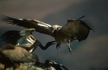 Cape vulture squabbling - Drakensberg Mountains, South Africa vulture bird,birds,Cape vulture,Gyps coprptheres,Aves,Birds,Accipitridae,Hawks, Eagles, Kites, Harriers,Falconiformes,Hawks Eagles Falcons Kestrel,Chordates,Chordata,Cape griffon,Gyps fulvus coprother