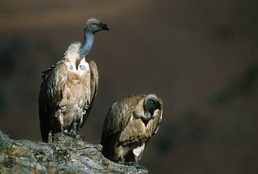 Cape vulture - Drakensberg Mountains, South Africa Terrestrial,ground,environment,ecosystem,Habitat,Altitude,high altitude,Montane,Mountain,vulture bird,birds,Cape vulture,Gyps coprptheres,Aves,Birds,Accipitridae,Hawks, Eagles, Kites, Harriers,Falconi