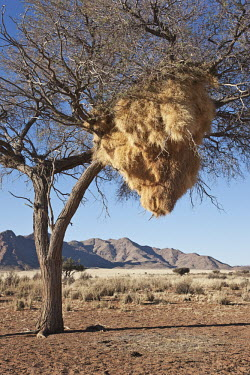 Huge nest in a tree created by sociable weaver birds - Namibia Sociable weaver,weaver,bird,birds,Animalia,Chordata,Aves,Passeriformes,Ploceidae,Philetairus socius