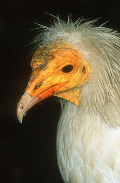Egyptian vulture - Africa vulture bird,birds,Egyptian vulture,Neophron percnopterus,Accipitridae,Hawks, Eagles, Kites, Harriers,Chordates,Chordata,Aves,Birds,Falconiformes,Hawks Eagles Falcons Kestrel,Vautour percnopt�re,percn