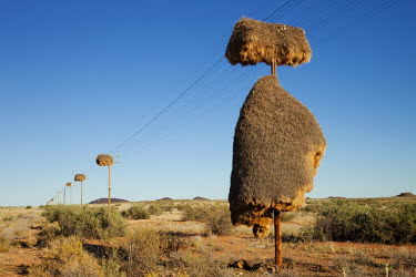Huge nests created on telephone lines by sociable weaver birds - Namibia Grassland,arid,drought,waterless,no water,dried up,barren,baked,Dry,parched,moistureless,family,Terrestrial,ground,Colonisation,Colony,Colonial,Plains,plain,savannahs,savana,savannas,shrubland,savanna