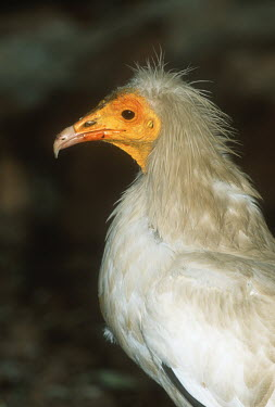 Egyptian vulture - Africa Bill,bills,yellow,coloration,Colouration,white,colours,color,colors,Colour,vulture bird,birds,Egyptian vulture,Neophron percnopterus,Accipitridae,Hawks, Eagles, Kites, Harriers,Chordates,Chordata,Aves