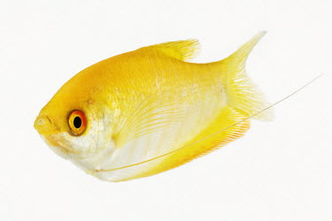 Golden gourami Aquatic,water,water body,colours,color,colors,Colour,Portrait,face picture,face shot,White background,environment,ecosystem,Habitat,yellow,fresh water,Freshwater,Close up,coloration,Colouration,nothin