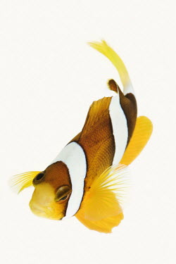Clark's anemonefish bright colour,bright,Colourful,brightly coloured,colorful,bright colours,environment,ecosystem,Habitat,Close up,White background,Multi-coloured,multicoloured,multi-colored,multicolored,colourful,reef,