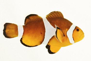 Clown anemonefish Clown anemonefish,Amphiprion percula,Chordates,Chordata,Actinopterygii,Ray-finned Fishes,Bass and Perches,Perciformes,orange clown fish,blackfinned clownfish,Lutjanus percula,clown fish,clownfish,Aqua