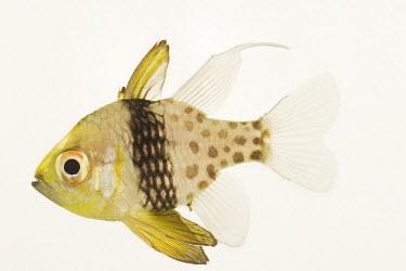 Pajama cardinalfish Pajama cardinalfish,Polka dot cardinalfish,Spotted cardinalfish,Animalia,Chordata,Actinopterygii,Perciformes,Apogonidae,Sphaeramia nematoptera
