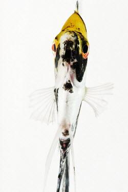 Koi angelfish tropics,Tropical,reef,Coral reef,tropic,reefs,corals,tropical,coral structure,coral,coral reefs,Ocean,oceans,oceanic,colours,color,colors,Colour,Multi-coloured,multicoloured,multi-colored,colorful,mul