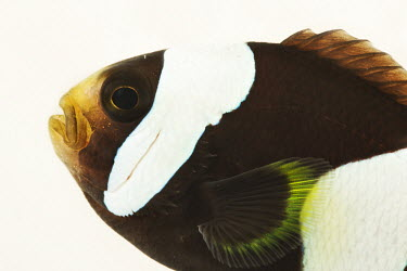 Saddleback clownfish Animalia,Chordata,Actinopterygii,Perciformes,Pomacentridae,Amphiprion polymnus,fish,clownfish,anemone fish,Brownsaddle Clownfish,Panda Clownfish,Saddleback Anemonefish,Saddle Back Clown,Saddleback Clo