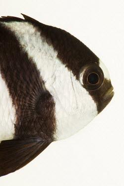 3-Stripe Damsel 3-Stripe Damsel,Whitetail dascyllus,Humbug dascyllus,Animalia,Chordata,Actinopterygii,Perciformes,Pomacentridae,Dascyllus,Dascyllus aruanus,humbug damselfish,fish