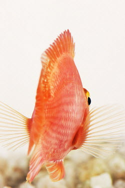 Blood parrot cichlid coloration,Colouration,Multi-coloured,multicoloured,multi-colored,colorful,multicolored,colourful,bright colour,bright,Colourful,brightly coloured,bright colours,Sea,seas,reef,Coral reef,tropics,tropi