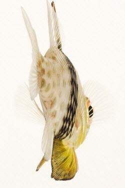 Pajama cardinalfish Aquatic,water,water body,White background,Close up,nothing,plain background,nothing in background,Plain,blank background,blank,environment,ecosystem,Habitat,saltwater,Marine,saline,Pajama cardinalfish