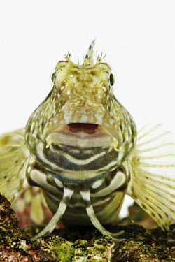 Banded jewelled-blenny environment,ecosystem,Habitat,Aquatic,water,water body,nothing,plain background,nothing in background,Plain,blank background,blank,saltwater,Marine,saline,Close up,White background,Rock blenny,Lawnmow