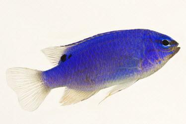 Blue devil Blue devil,blue damselfish,blue demoiselle,blue devil,cornflower sergeant-major,Hedley's damselfish,red tail Australian damsel,sapphire devil,sky-blue damsel,damselfish,fish,Animalia,Chordata,Actinopt