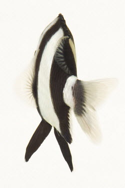Humbug dascyllus 3-Stripe Damsel,Whitetail dascyllus,Humbug dascyllus,Animalia,Chordata,Actinopterygii,Perciformes,Pomacentridae,Dascyllus,Dascyllus aruanus,humbug damselfish,fish