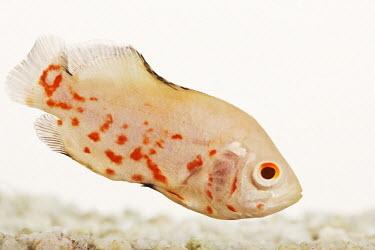 Oscar cichlid,fish,Animalia,Chordata,Actinopterygii,Perciformes,Cichlidae,Astronotus,Astronotus ocellatus,tiger oscar,albino,velvet cichlid,marble cichlid,Oscar