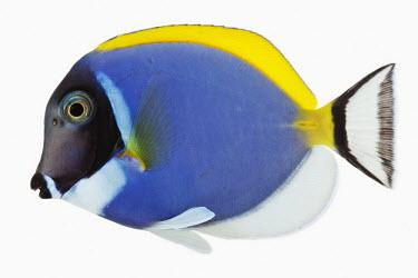 Powder blue tang Close up,Sea,seas,Ocean,oceans,oceanic,bright colour,bright,Colourful,brightly coloured,colorful,bright colours,coloration,Colouration,saltwater,Marine,saline,tropics,Tropical,Portrait,face picture,fa
