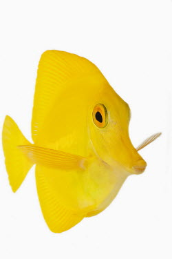 Yellow tang Portrait,face picture,face shot,reef,Coral reef,tropics,tropic,reefs,corals,tropical,coral structure,coral,coral reefs,bright colour,bright,Colourful,brightly coloured,colorful,bright colours,White ba