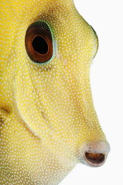 Brushtail tang Brown tang,twotone tang,scopas tang,brush-tail tang,tang,Animalia,Chordata,Actinopterygii,Perciformes,Acanthuridae,Zebrasoma scopas,fish,Brushtail tang