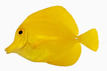 Yellow tang saltwater,Marine,saline,Sea,seas,coloration,Colouration,White background,Multi-coloured,multicoloured,multi-colored,colorful,multicolored,colourful,Portrait,face picture,face shot,environment,ecosyste