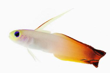 Fire dartfish environment,ecosystem,Habitat,reef,Coral reef,tropics,tropic,reefs,corals,tropical,coral structure,coral,coral reefs,Close up,Aquatic,water,water body,Sea,seas,Ocean,oceans,oceanic,Multi-coloured,mult