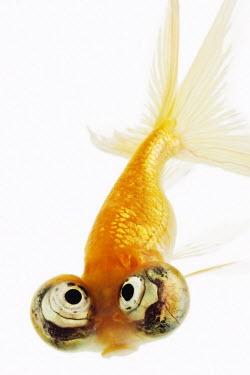 Celestial eyed goldfish Ocean,oceans,oceanic,environment,ecosystem,Habitat,Multi-coloured,multicoloured,multi-colored,colorful,multicolored,colourful,tropics,Tropical,Aquatic,water,water body,Portrait,face picture,face shot,