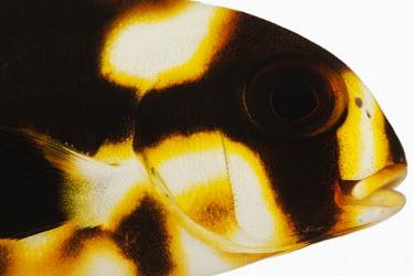 Oriental sweetlips Indian Ocean oriental sweetlips,Oriental sweetlips,sweetlips,fish,Animalia,Chordata,Actinopterygii,Perciformes,Haemulidae,Plectorhinchus,Plectorhinchus orientalis,Plectorhinchus vittatus