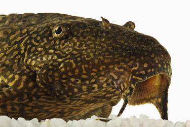 Sailfin pleco catfish,salifin pleco,Leopard pleco,Sailfin pleco,Clown pleco,Leopard plecostomus,fish,Animalia,Chordata,Actinopterygii,Siluriformes,Loricariidae,Pterygoplichthys,Pterygoplichthys gibbiceps,Glytoperic
