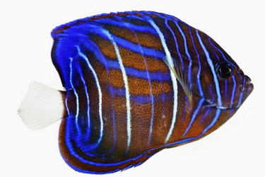 Bluering angelfish Bluering angelfish,Animalia,Chordata,Actinopterygii,Perciformes,Pomacanthidae,Pomacanthus annularis,Bluering Angelfish,Blue Ring Angelfish,Blue-ringed Angelfish,Blueringed Angelfish,Ringed Angelfish,R