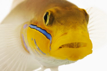 Bluestreak goby Gold head goby,Bluestreak goby,blueband goby,golden-head sleeper goby,pennant glider,goby,Animalia,Chordata,Actinopterygii,Perciformes,Gobiidae,Valenciennea strigata